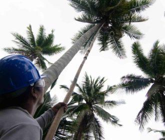 Óleo de coco pode ser o próximo biocombustível problemático