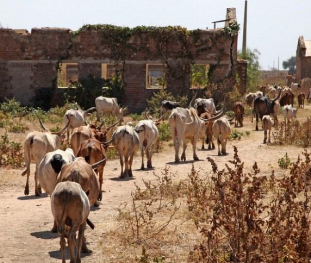 Cattle Herd In Abyei