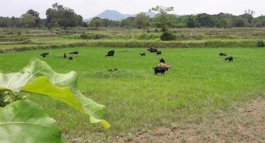 Nayagarh cultivation
