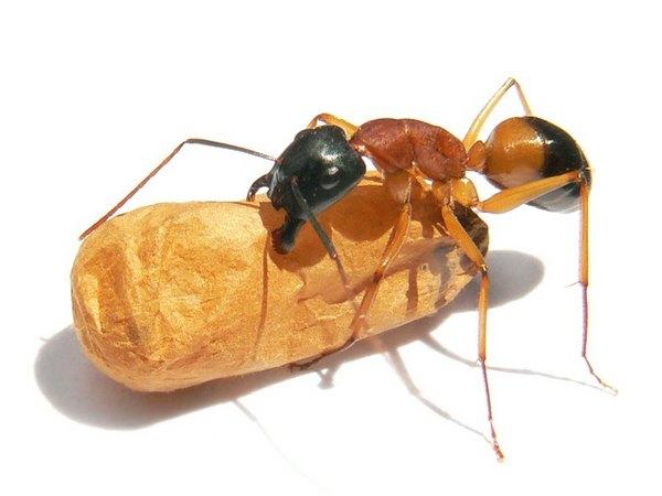 Прозрачные муравьи в квартире. Белые муравьи в квартире: как избавиться и причины появления. Маленькие прозрачные муравьи в квартире как избавиться