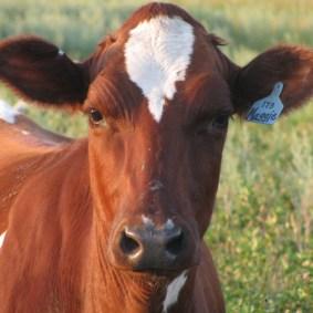 Ayrshire dairy cow