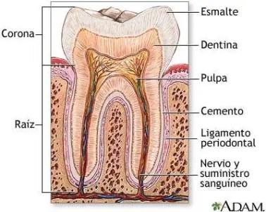 diente dolor de dientes, porque duele diente, nervio dolor diente, tratamiento dolor de dientes