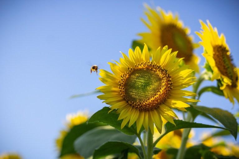 Pszczoła na tle słonecznika