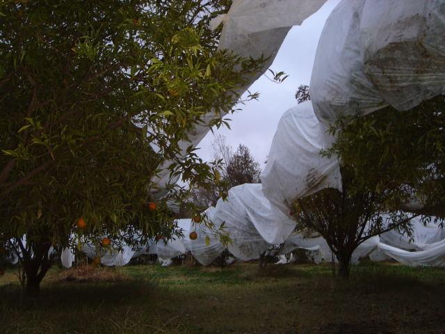 Protection des arbres fruitiers contre le froid (Guinda, CA. 11 déc. 2009)