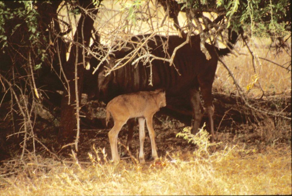 newborn wildebeeste calf