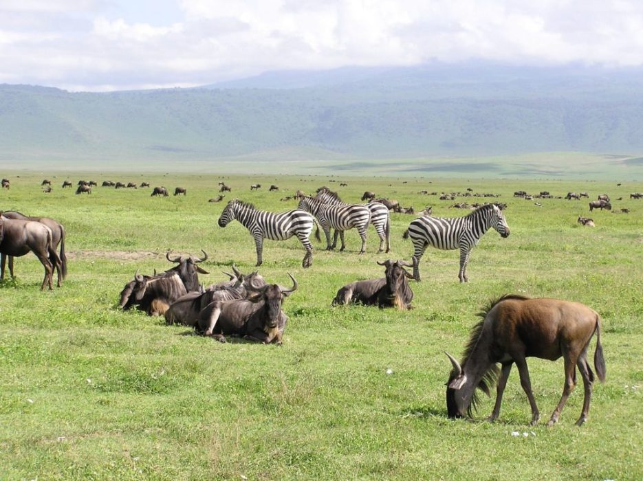 zebra & wildebeeste