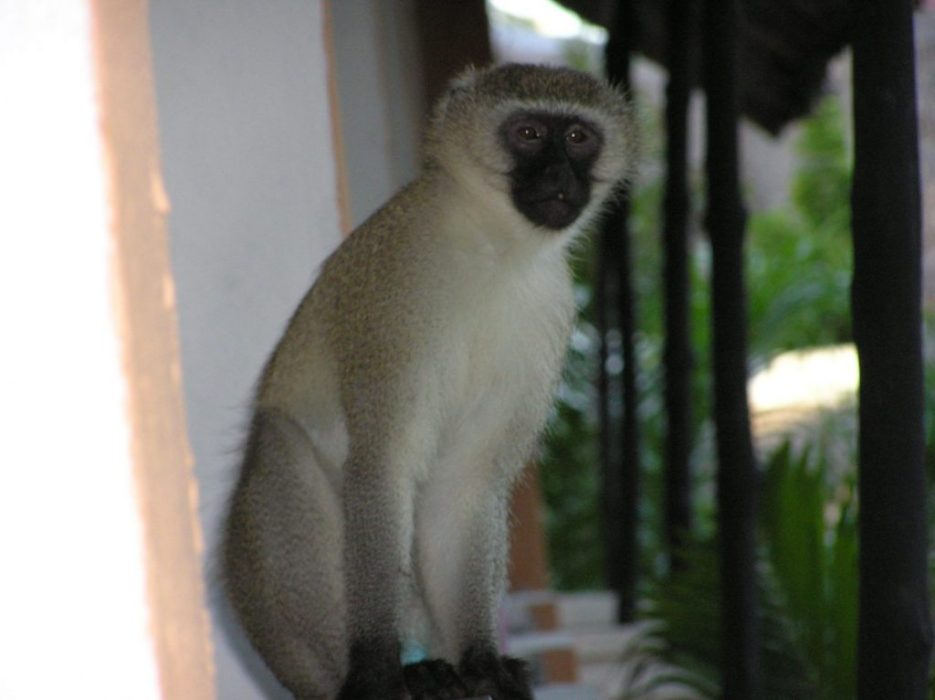 our resident monkey
