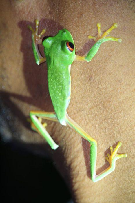 a rare tree frog