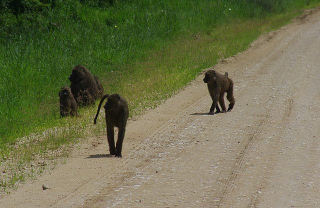 agressive baboons