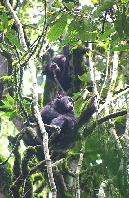 there are the chimps