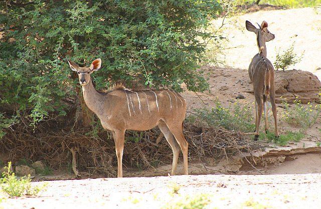 mother and juvenile kudu