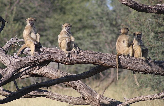babboons perched