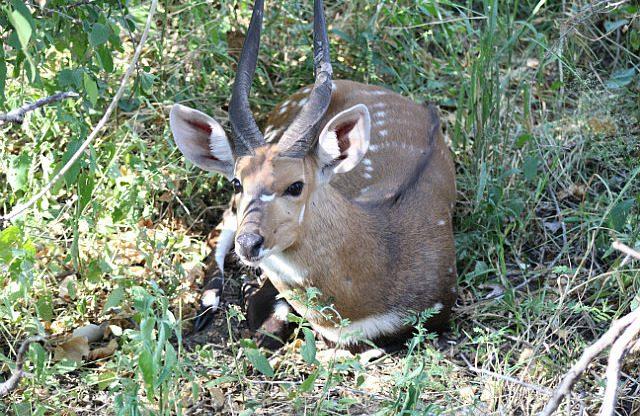 bushbuck who hangs around camp