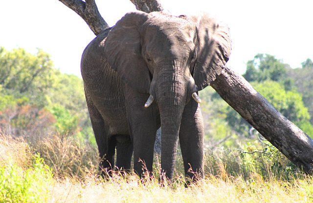 the largest land mammal