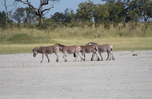 zebra at a dry water hole
