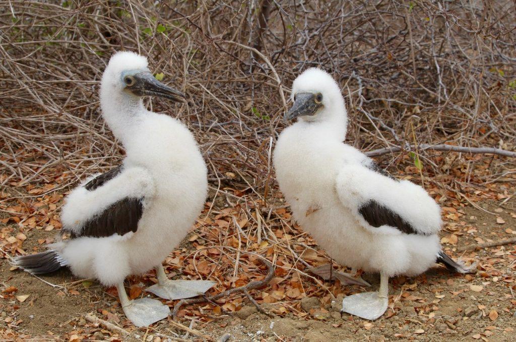 two juveniles
