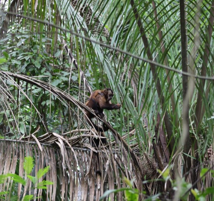 red capuchin monkey