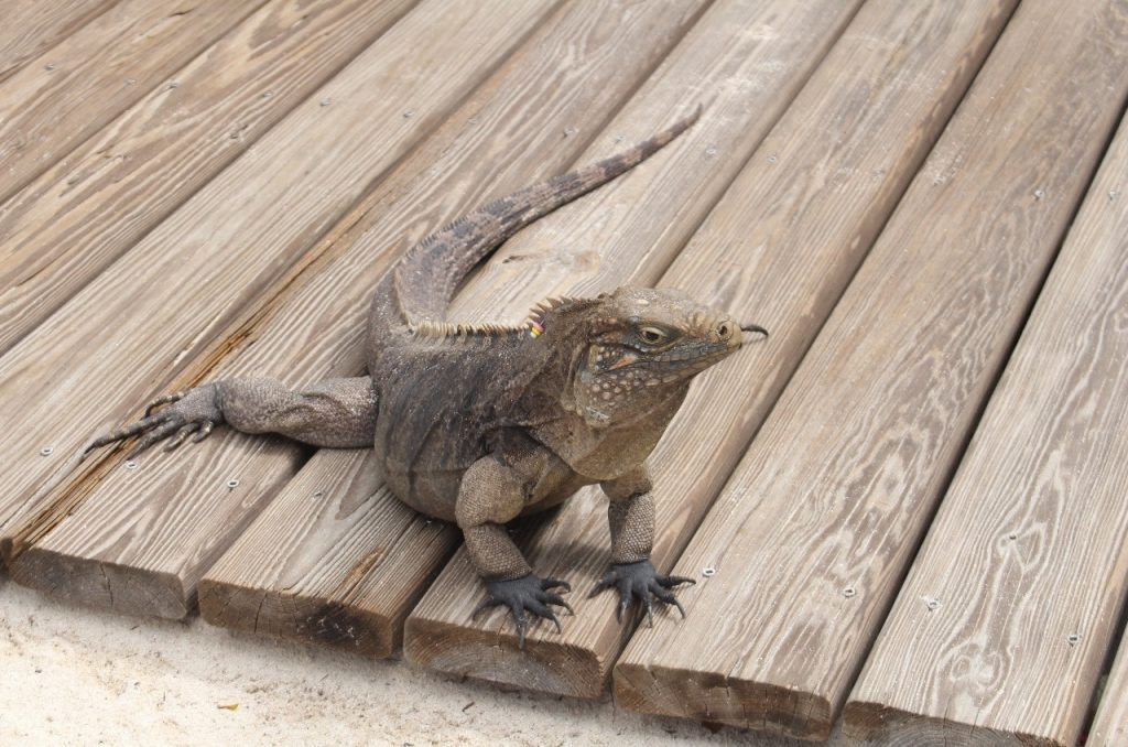 apparently the islands are overrun with these critters and they are a nuisance, especially to gardeners