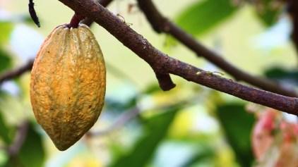 cocoa-1529742