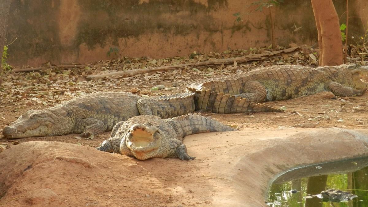 crocodiles-3881265_1920.jpg?fit=1200%2C675
