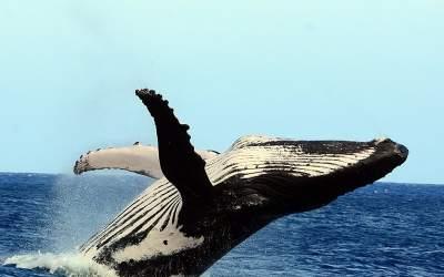 Moorea – Schwimmen mit Buckelwalen