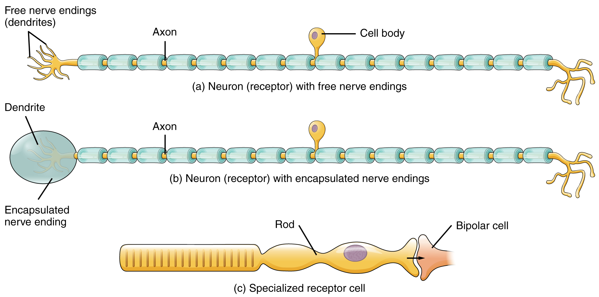 This Figure Shows The Different Types Of Receptors The