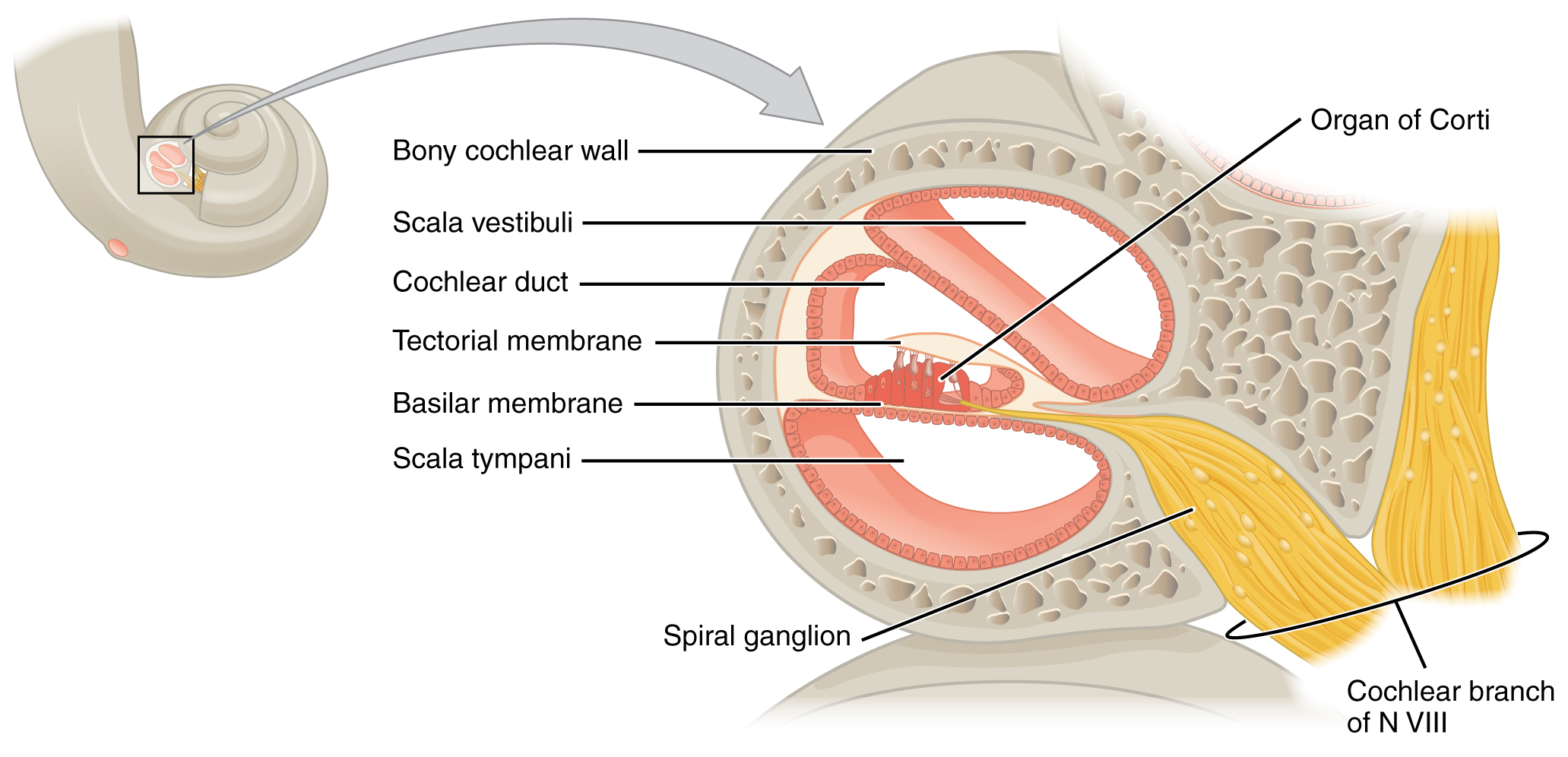 This Diagram Shows The Structure Of The Cochlea In The Inner Ear