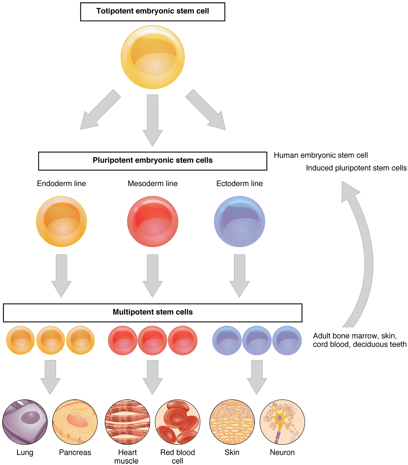 This Flow Chart Shows The Differentiation Of Stem Cells Into Different Cell Types The Top Layer