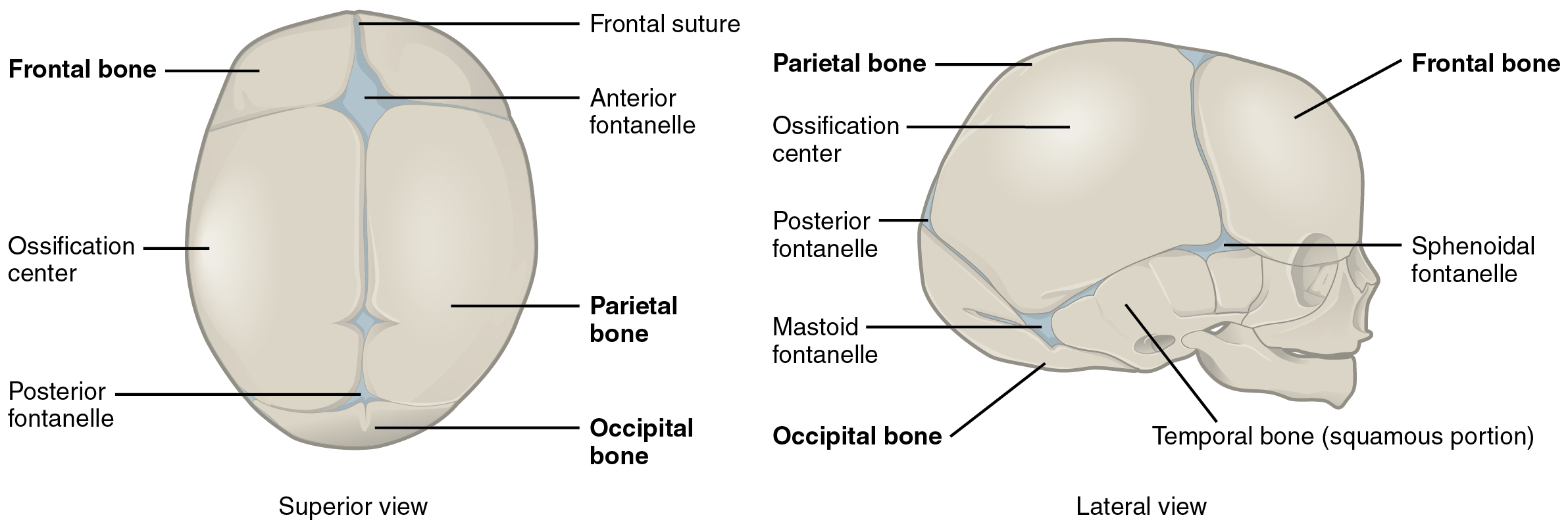 This Diagram Shows The Image Of A Newborn Human Skull The