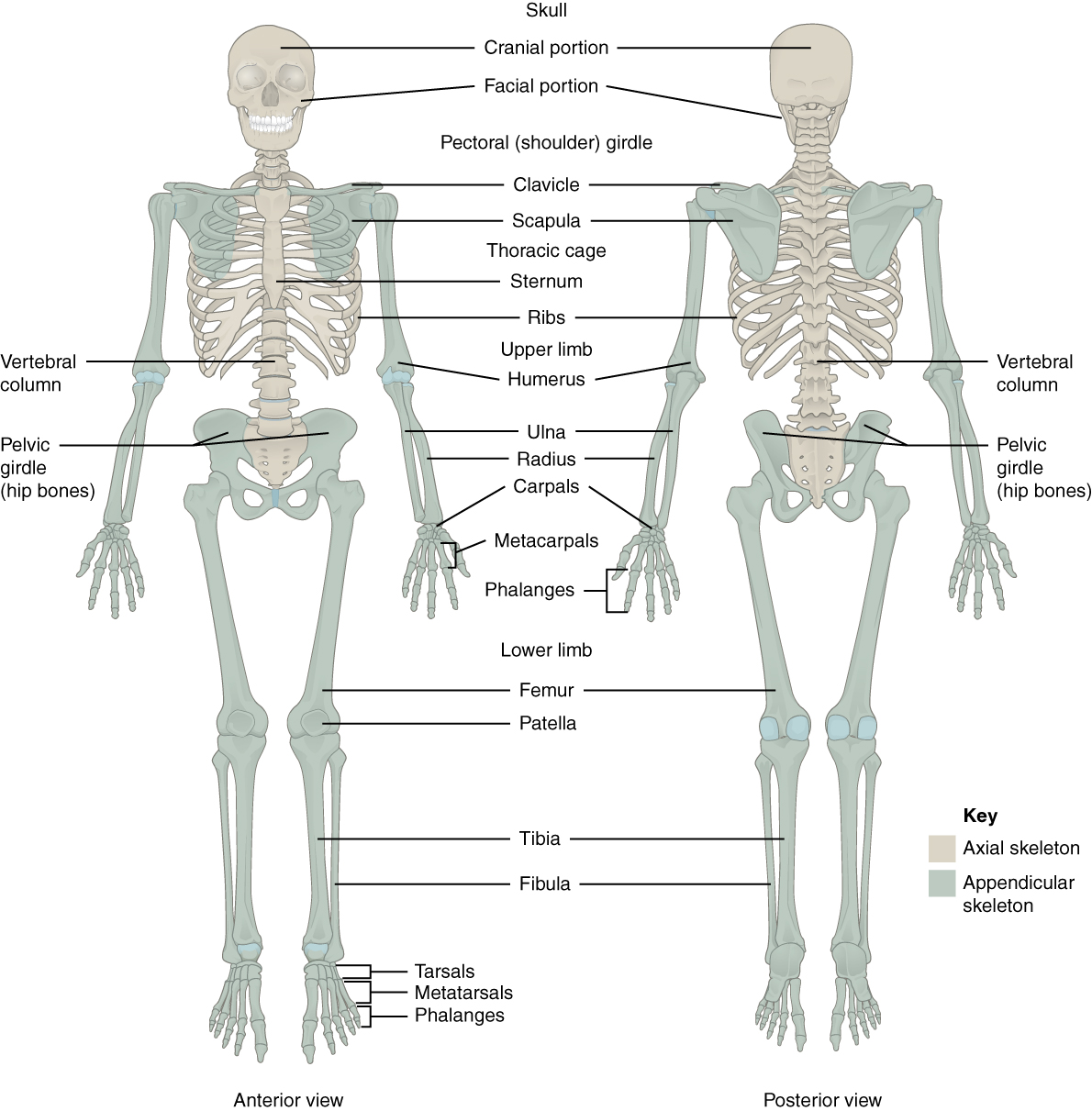 This Figure Shows The Human Skeleton The Left Panel Shows