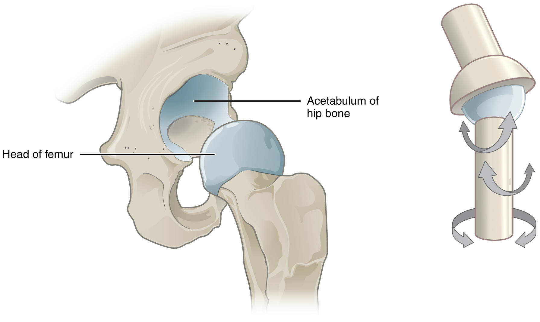 This Image Shows A Multiaxial Joint The Left Panel Shows