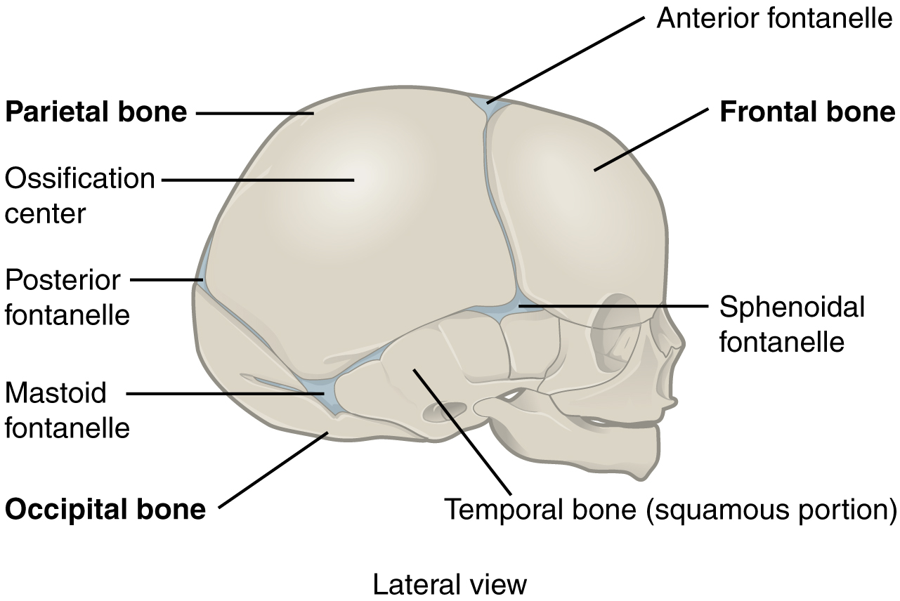 This Figure Shows The Lateral View Of The Newborn Skull