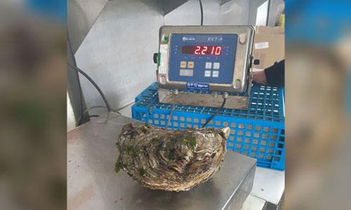 Enorme oester van 2,2 kilo gevonden