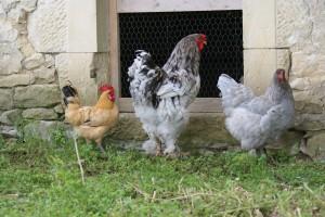 poules et coqs