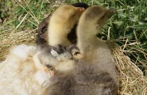 dodo sur les oies