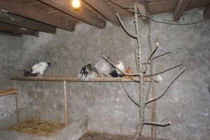 poules sur perchoir dans un poulailler