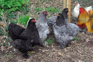 poules brahma noire et bleues