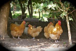 poules et coq orpington fauve à l'ombre des arbres