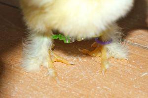 doigt tordu sur patte de poussin