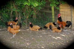 poules et coq de race vorwek