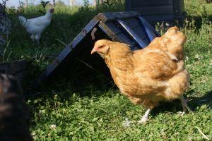 poulettes orpington fauve dans le jardin