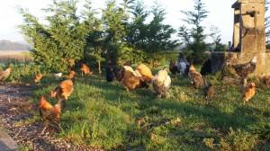 Poulets au petit matin