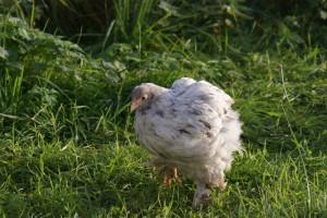 Lored, ma poulette a l'allure si particulière du à son handicap