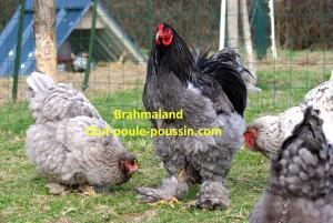 coq brahma bleu soutenu, au milieu de ses poules brahma bleues et splash