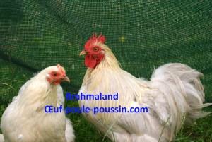 Coq pékin variété isabelle et sa poulette