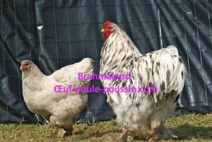 coq et jeune poule brahma GR en variété splash