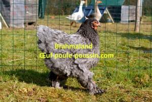 poule brahma bleu soutenu en mouvement