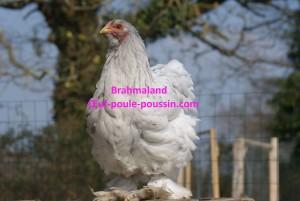 Jolie poulette brahma splash perchée