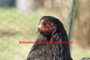 Tête d'une jeune brahma noire de presque un an.