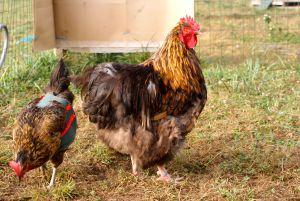 Crack, coq orpington odal, en compagnie de Bis, poule pondeuse harco